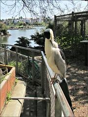 Lake Merritt heron