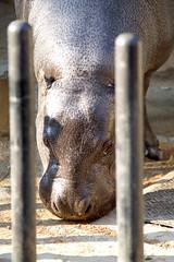 Pygmy Hippopotamus - 14