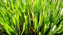 artificial turf(0.0), hierochloe(0.0), food(0.0), lawn(0.0), plant stem(0.0), grass(1.0), plant(1.0), wheatgrass(1.0), herb(1.0), green(1.0), produce(1.0),