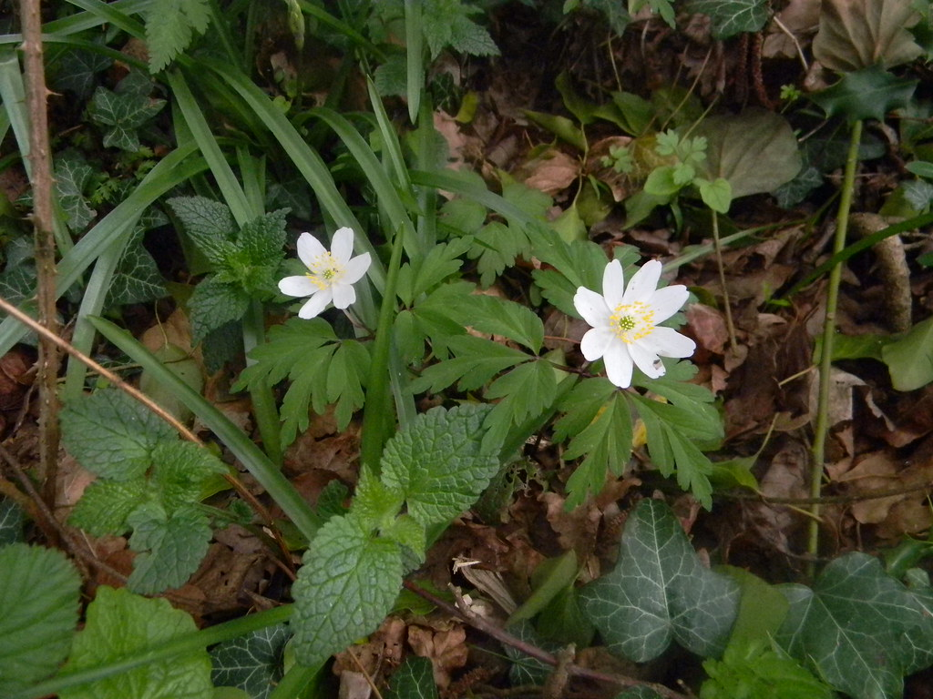 Wood anenome Goring Circular (YHA map walk)