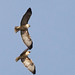 IMG_5263 Red-Tailed Hawks Acrobatic Series Los Carneros, Goleta, CA by Ashala Tylor Images