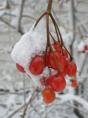Berries Covered with Snow