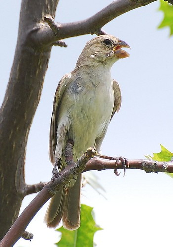White-throated Seedeater (Sporophila albogularis) Golado