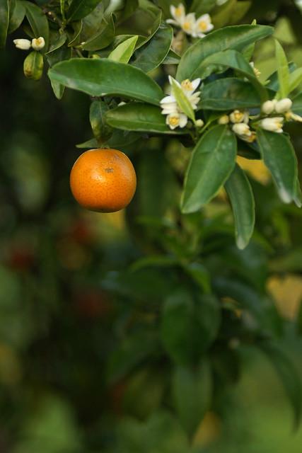 orange fruit flower