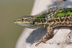 animal, green lizard, reptile, lizard, fauna, close-up, lacerta, dactyloidae, scaled reptile, wildlife,