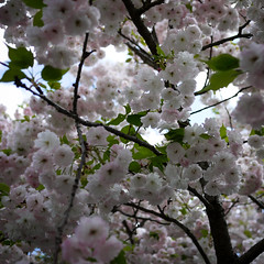 blossom, flower, branch, tree, produce, cherry blossom, spring,