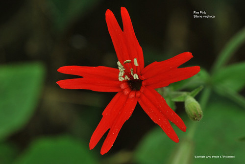 Fire Pink, Scarlet Catchfly - Silene virginica
