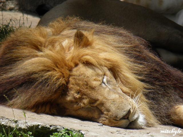 Lion Sleeping 1