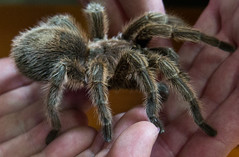 arthropod(1.0), animal(1.0), spider(1.0), invertebrate(1.0), macro photography(1.0), fauna(1.0), close-up(1.0), tarantula(1.0), wolf spider(1.0),