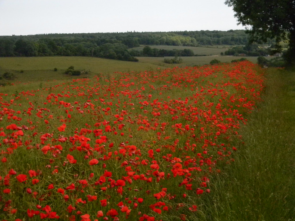 Non stop poppies Petersfield to Rowlands Castle