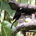 Flame-rumped Tanager - Photo (c) Dominic Sherony, some rights reserved (CC BY-SA)