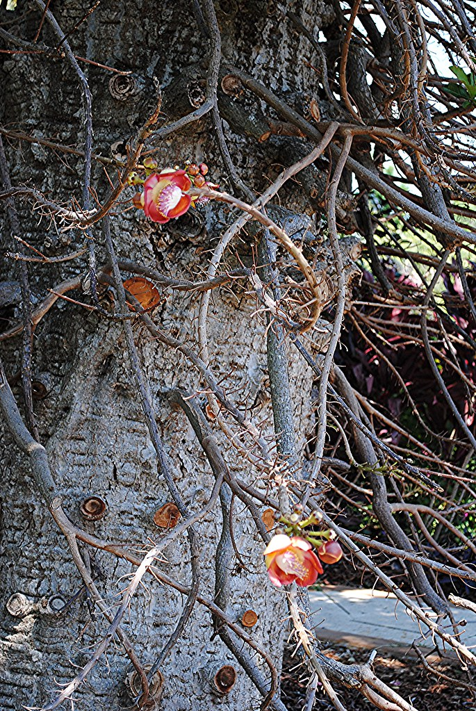 Cannonball flowers erupt from stems on the lower trunk of the tree