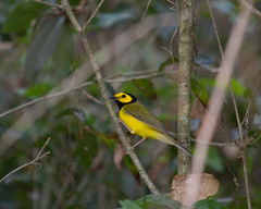 Hooded Warbler by billlittle 1950
