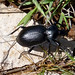 Small photo of Carabidae