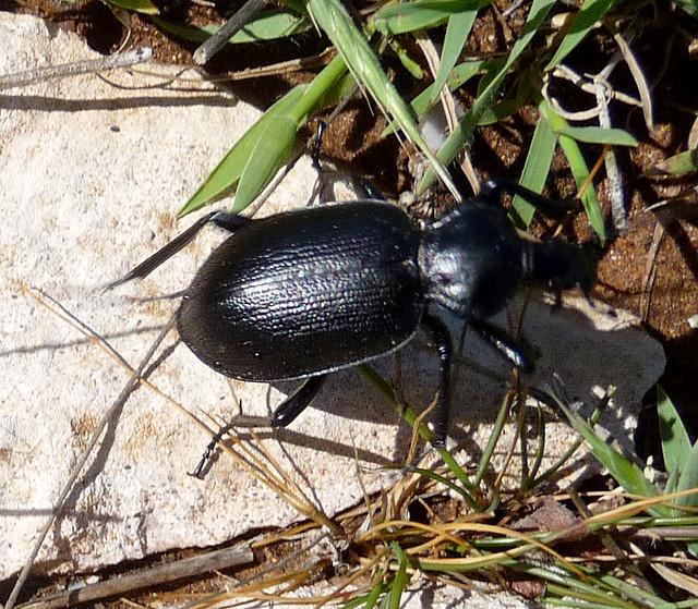 Header of Carabidae