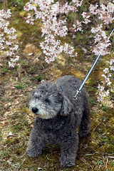 pumi(0.0), glen of imaal terrier(0.0), bouvier des flandres(0.0), miniature poodle(1.0), dog breed(1.0), animal(1.0), dog(1.0), schnoodle(1.0), pet(1.0), lagotto romagnolo(1.0), mammal(1.0), poodle crossbreed(1.0), cockapoo(1.0), spanish water dog(1.0), barbet(1.0), terrier(1.0),