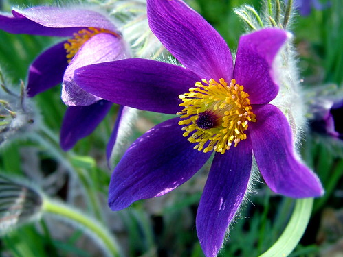 5602624139 0ddc6ff25b magnifier add an observation eastern pasqueflower pulsatilla hirsutissima south dakota state flower