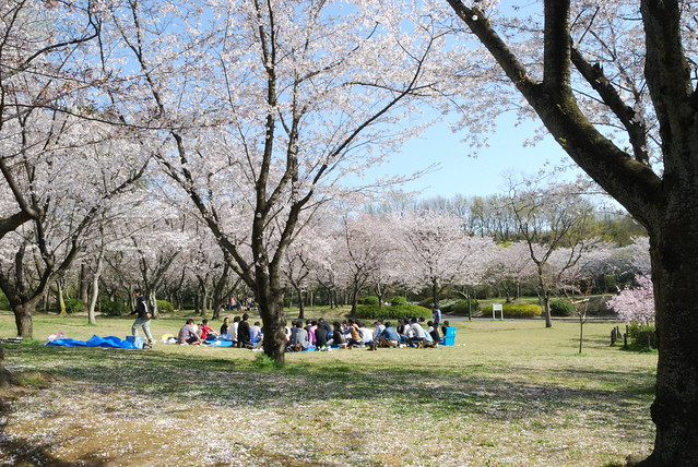 Hanami in Heiwa Koen in Nagoya-shi, Japan. Photo by Keight Beaven. All rights reserved.