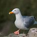 Herring Gull Walkabout