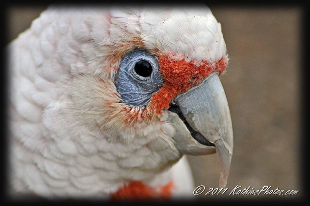 127-365 Corella, relative to cockatoo