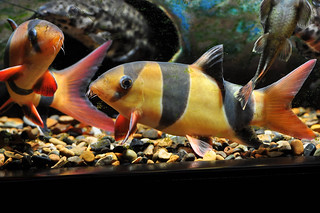 Alpha and beta loach