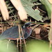 Small photo of Agami Heron (Agamia agami)