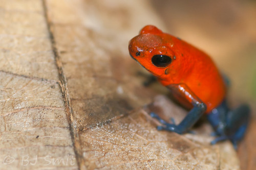Strawberry Poison Frog (Oophaga pumilio)