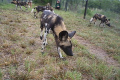 goats(0.0), hunting dog(0.0), animal(1.0), dog(1.0), mammal(1.0), lycaon pictus(1.0),