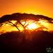 Sunset and Acacia Tree - Serengeti, Tanzania