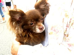 dog breed, chihuahua, animal, dog, pet, mammal, russkiy toy, papillon,