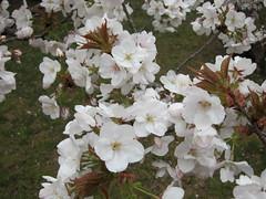 rosa wichuraiana, blossom, flower, branch, plant, rosa multiflora, rosa pimpinellifolia, cherry blossom,