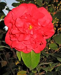 shrub(0.0), floribunda(0.0), chinese hibiscus(0.0), annual plant(1.0), flower(1.0), red(1.0), plant(1.0), flora(1.0), rosa chinensis(1.0), petal(1.0),