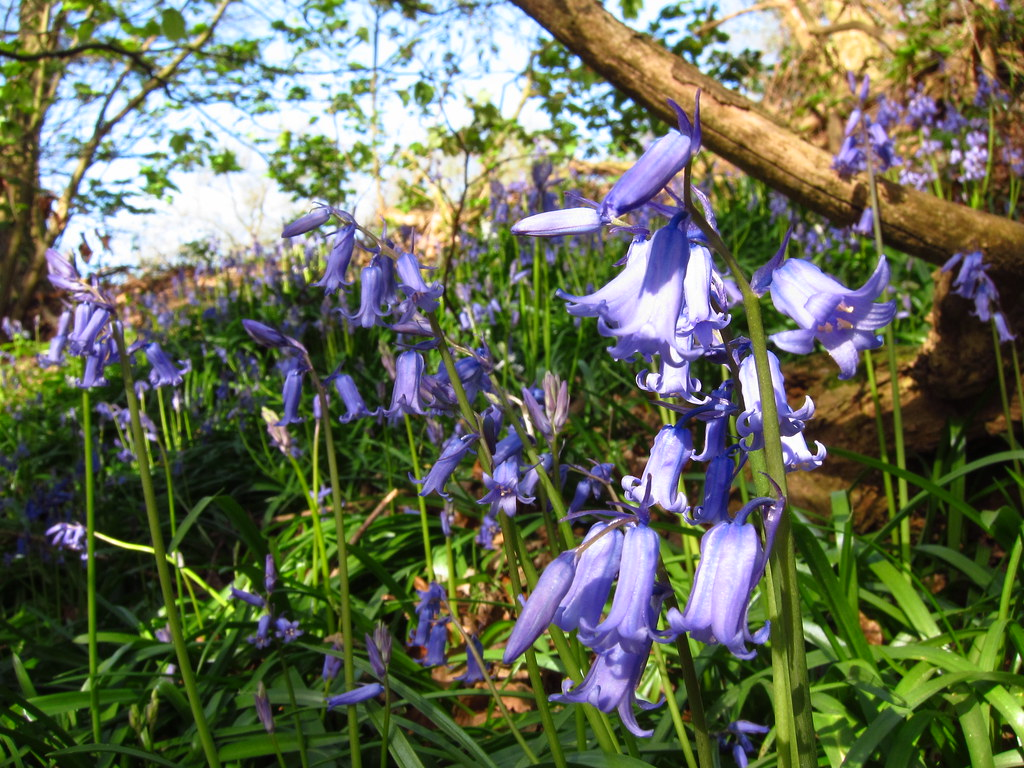 Bluebells on Hampstead Heath
