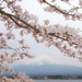 Mt. Fuji and sakura