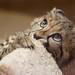 Kiburi the baby Cheetah by San Diego Shooter