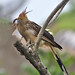 Anu-branco ( Guira-guira ) -  Guira Cuckoo -  DSC_0091_01 by Celi Aurora