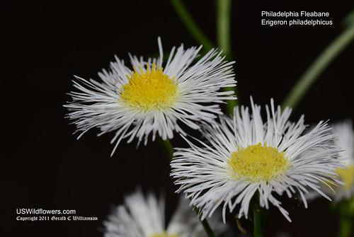 Philadelphia Fleabane - Erigeron philadelphicus
