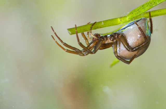 female water spider on plant