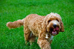 miniature poodle, dog breed, animal, dog, schnoodle, pet, lagotto romagnolo, mammal, poodle crossbreed, english cocker spaniel, cockapoo, goldendoodle, cavapoo, american water spaniel,