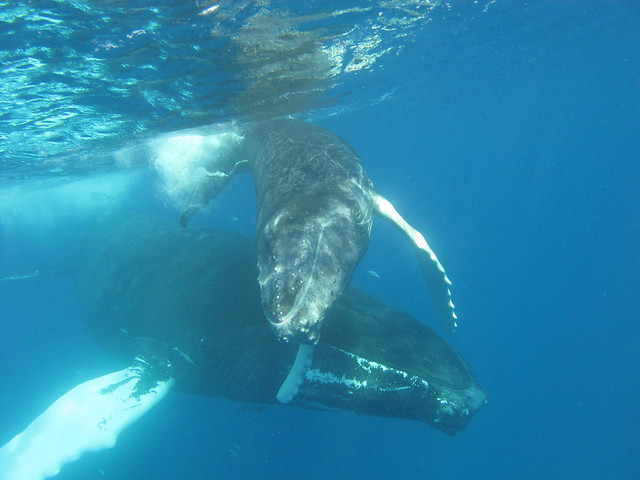Humpback whales underwater | Flickr - Photo Sharing!