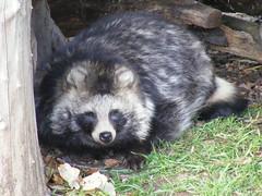 animal, raccoon, mammal, fauna, procyon,