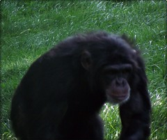 western gorilla(0.0), gorilla(0.0), chimpanzee(1.0), animal(1.0), mammal(1.0), great ape(1.0), fauna(1.0), common chimpanzee(1.0), ape(1.0),