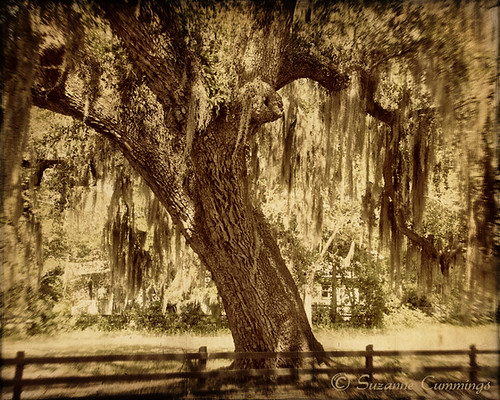 tree fence landscape oak southcarolina spanishmoss textured bluffton beaufortcounty