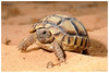 "<a href=""http://www.flickr.com/photos/javig/5675810869/"">Photo of Testudo graeca by J. Gállego</a>"