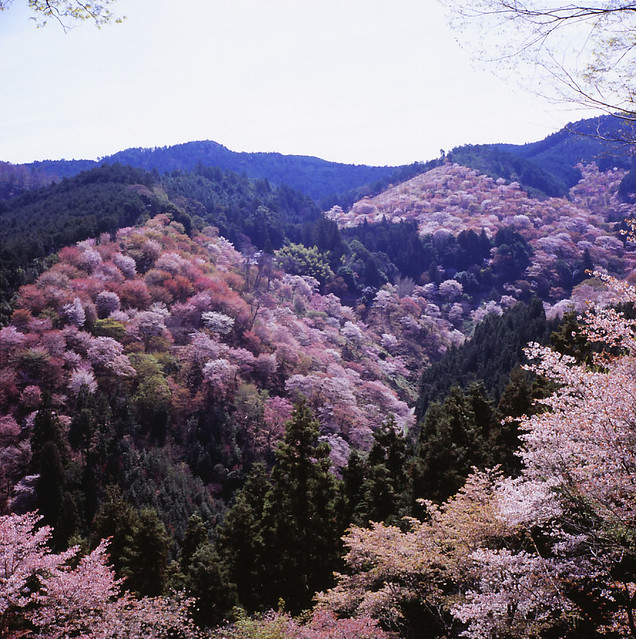 Beautiful Places In Japan Tumblr: One Of The Most Beautiful Places In Japan... Mt. Yoshino