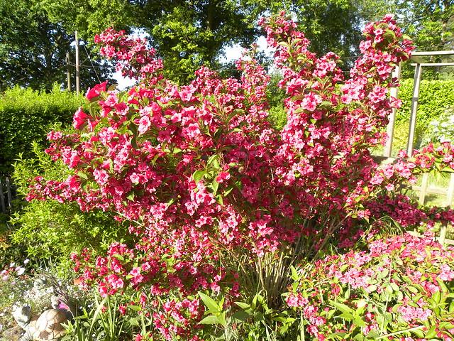 weigela bristol ruby one of my beautiful shrubs. Black Bedroom Furniture Sets. Home Design Ideas
