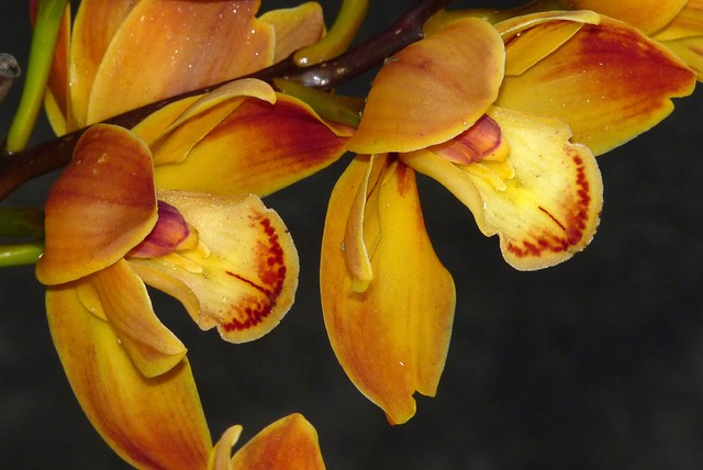 Cymbidium Wallacia 'Burnt Orange' hybrid orchid