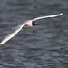 Hettumáfur (Larus ridibundus) - Black-headed Gull