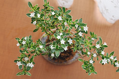 apiales(0.0), shrub(0.0), rosemary(0.0), marjoram(0.0), produce(0.0), food(0.0), ivy(0.0), bonsai(0.0), flowerpot(1.0), flower(1.0), branch(1.0), leaf(1.0), herb(1.0), houseplant(1.0),