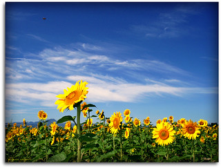 Sunflowers - a bee is hovering over  them
